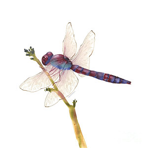 300x300 Dragonfly Watercolor Paintings Fine Art America