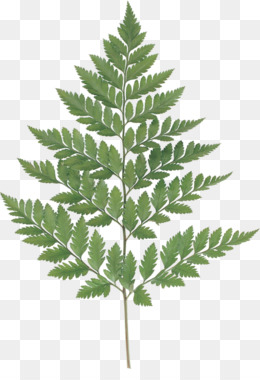 260x380 Free Download Fern Leaf Watercolor Painting Photography