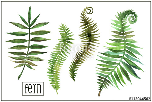 500x334 Watercolor Fern Stock Photo And Royalty Free Images On Fotolia