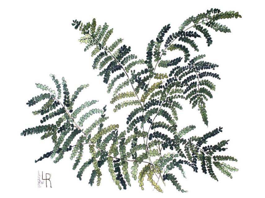 855x640 Woodland Fern Botanical Watercolor Illustration