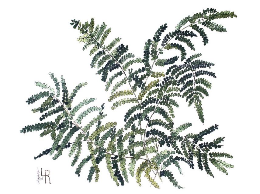 855x640 Fern Botanical Watercolor Illustration Painting