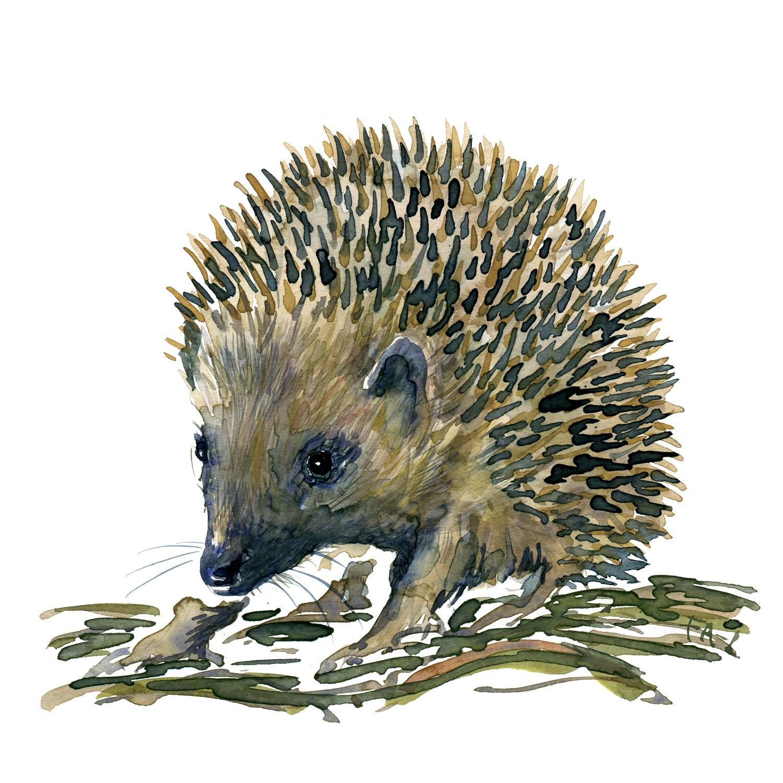 1500x1500 Hedgehog Watercolor Study Frits Ahlefeldt