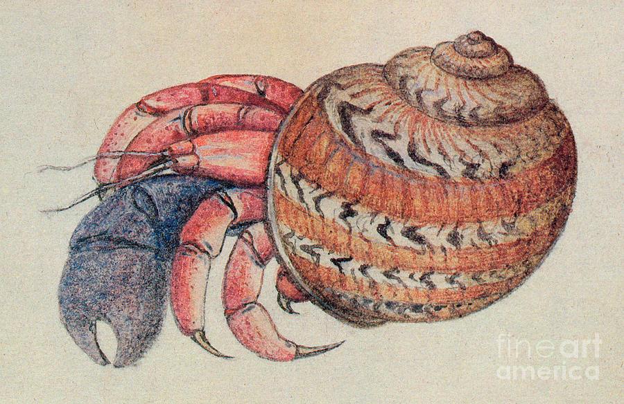 900x584 Hermit Crab Drawing By John White