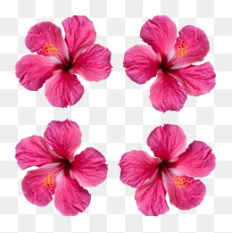 260x261 Hibiscus Flower Png, Vectors, Psd, And Clipart For Free Download