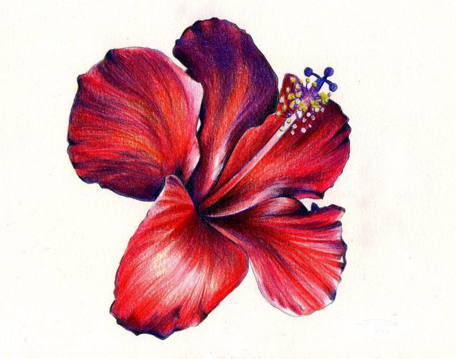 900x710 Hibiscus Flower Watercolour