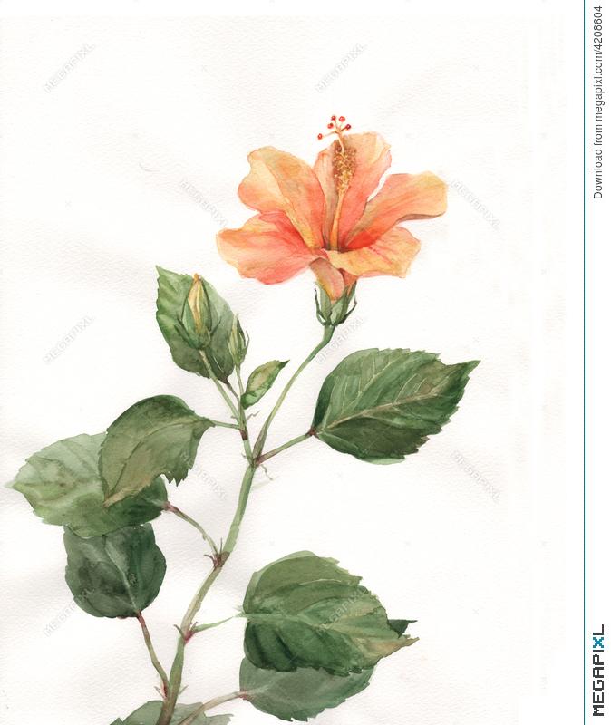 674x800 Orange Hibiscus Flower Watercolor Painting Illustration 4208604