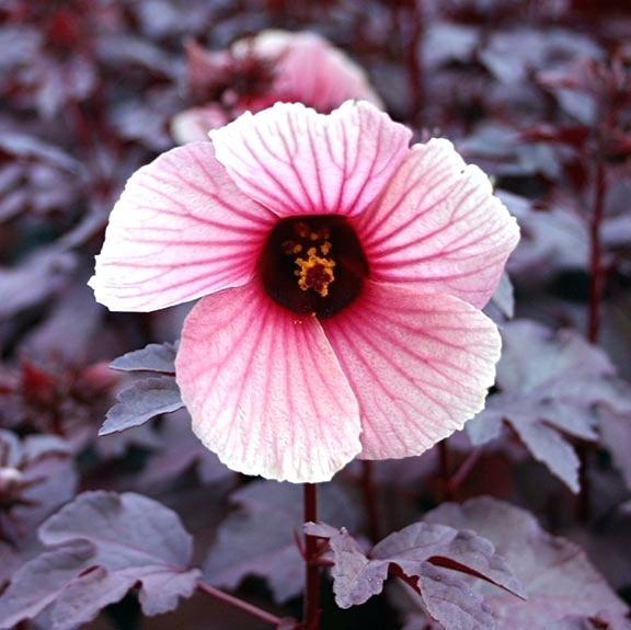 576x575 Water Hibiscus Red Night Blooming Hibiscus Hibiscus Flower