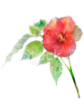 352x439 Watercolor Image Of Hibiscus Flower Stock Photos