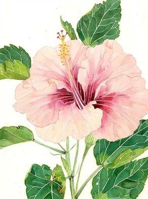 293x392 Art Pale Pink Hibiscus..watercolour By Gabby Malpas... Flowers