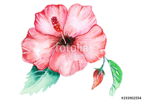 500x354 Hibiscus Watercolor Stock Photo And Royalty Free Images On
