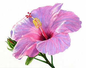 300x240 Hibiscus Watercolor Paintings Fine Art America