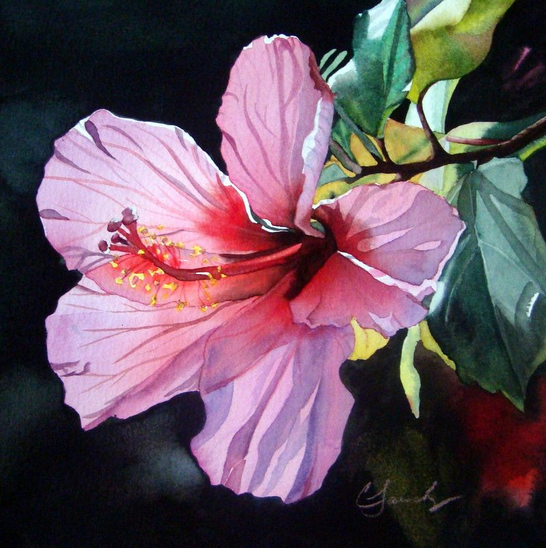 797x800 Hibiscus Watercolor Paintings Pink Back Lit Hibiscus Original