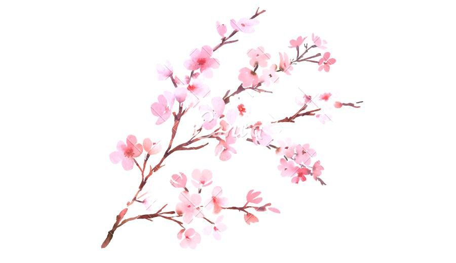 900x520 Cherry Blossom Watercolor Japanese. Watercolor Cherry Blossom