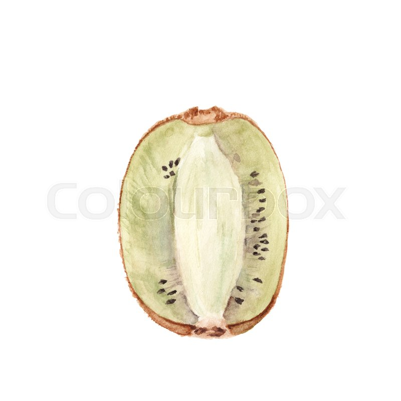 800x800 Watercolor Kiwi Fruit Isolated On White Background. Botany