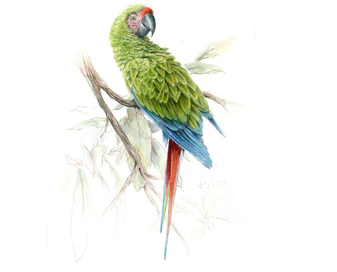670x542 Military Macaw