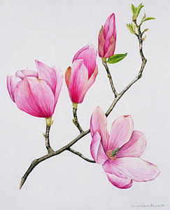 243x300 Magnolia Watercolor Paintings Fine Art America