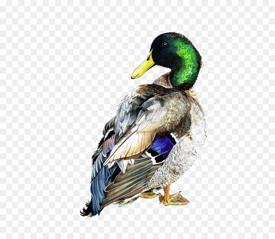 900x780 American Pekin Duck Mallard Bird Watercolor Painting