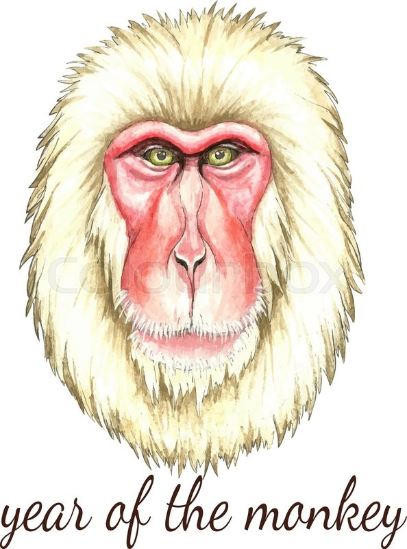 594x800 Face Of Japanese Monkey.watercolor Vector Illustration On White