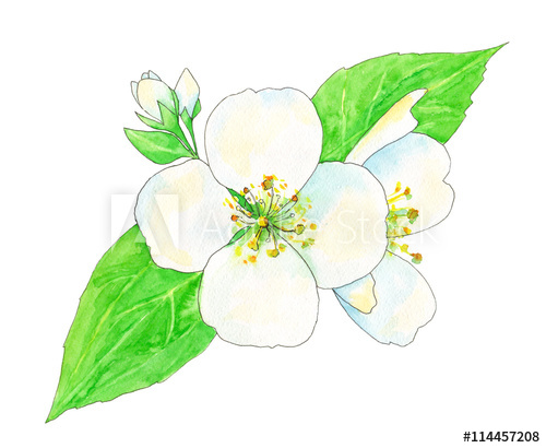 500x410 Jasmine, White Flowers And Green Leaves With Black Outline