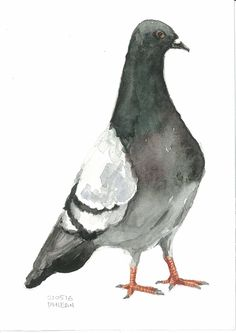 Pigeon Watercolor