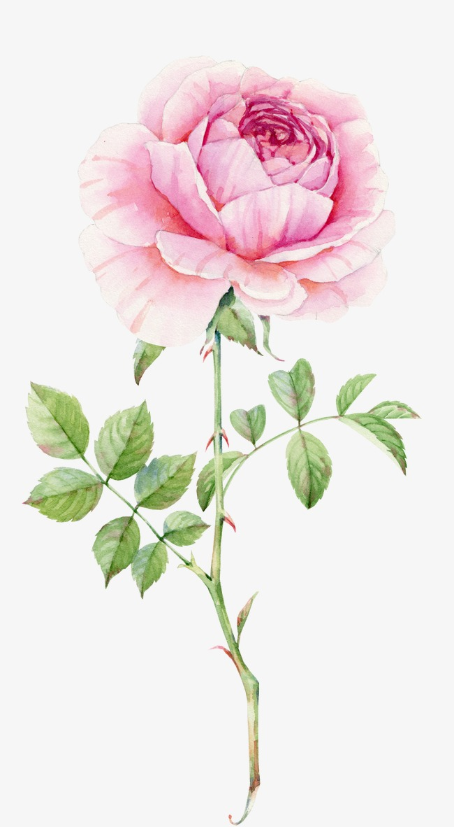 650x1182 Delicate Pink Roses Watercolor, Watercolor Clipart, Pink