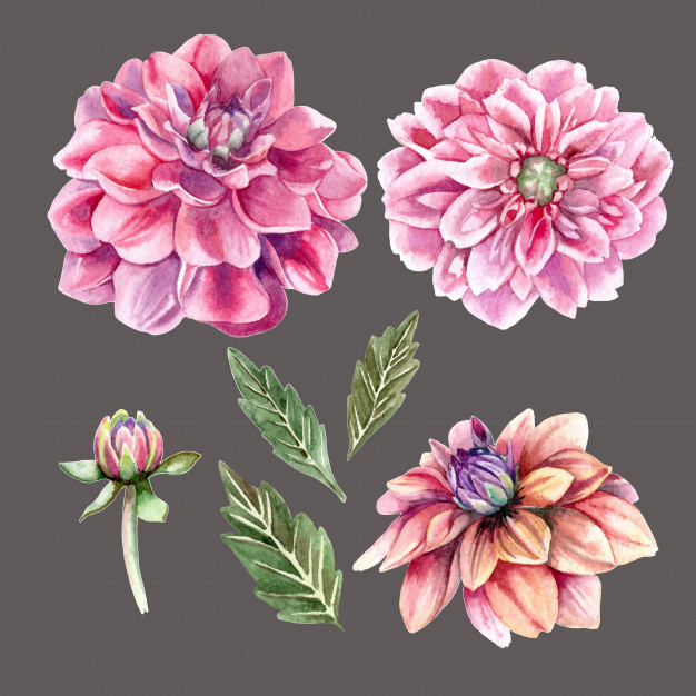 626x626 Realistic Watercolor Set Of Dahlia Flowers And Buds Vector