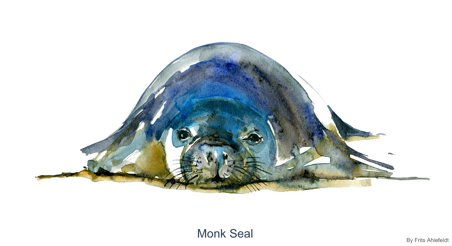 1500x818 Monk Seal Watercolor Note The Hiking Artist Project By Frits