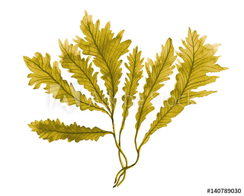 500x401 Brown Seaweed ,kelp Watercolor Hand Painted Element Isolated On