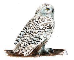 Snowy Owl Watercolor