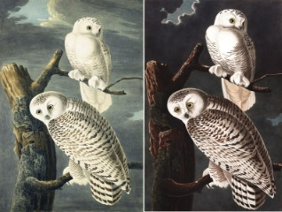 318x240 Comparison Of Snowy Owl Watercolor And Plate