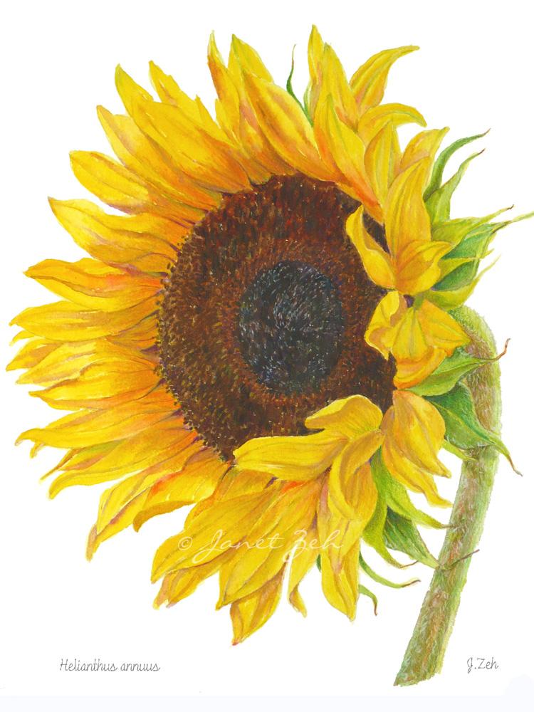 750x1000 Janet Zeh Original Art Watercolor And Oil Paintings Sunflower