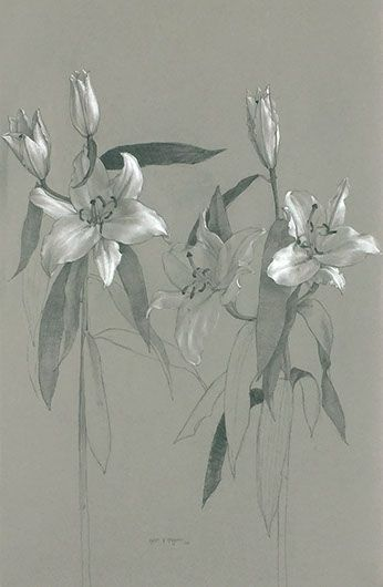 346x530 Katie G. Whipple, Lilium, Graphite And Chalk On Toned Watercolor
