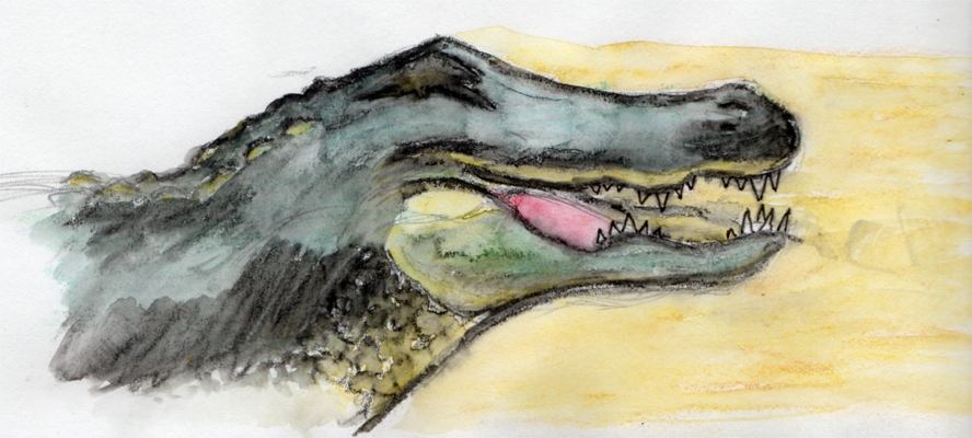 888x400 American Alligator Watercolor By Vxed