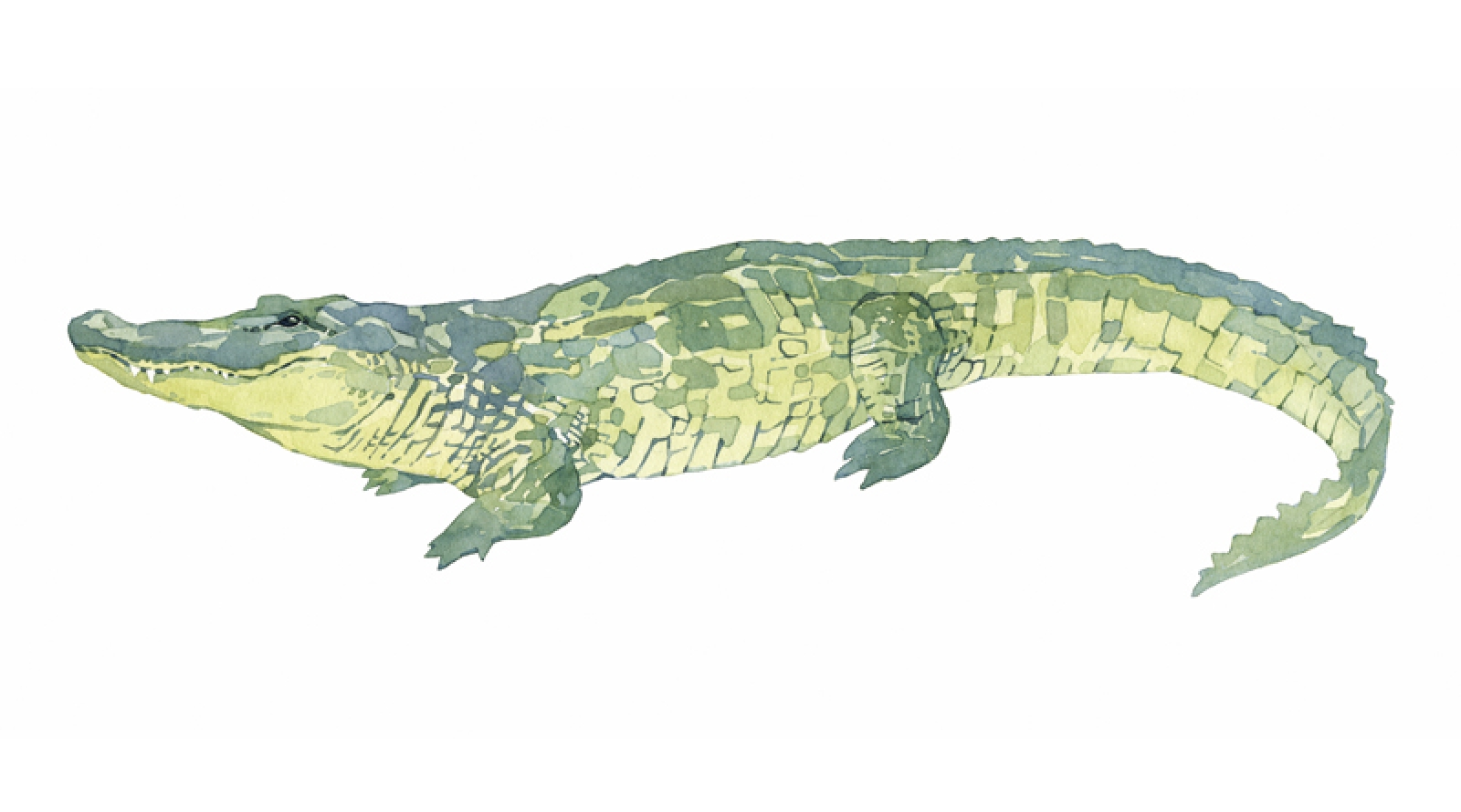 1600x890 Alligator Watercolor Painting Print David Scheirer Watercolors