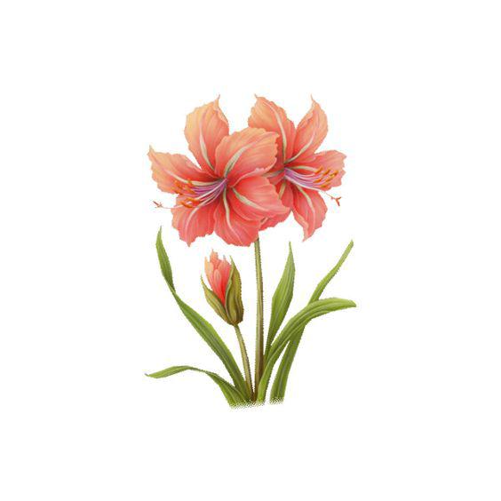 Watercolor Amaryllis
