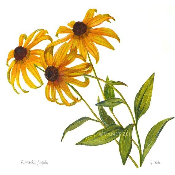 570x570 Botanical Print Black Eyed Susan Flowers Rudbeckia Watercolor Etsy