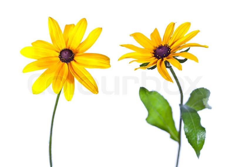 800x568 Pictures Black Eyed Susan Flower,