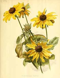 236x303 Black Eyed Susan Prints Yellow Black Eyed Susans Painting
