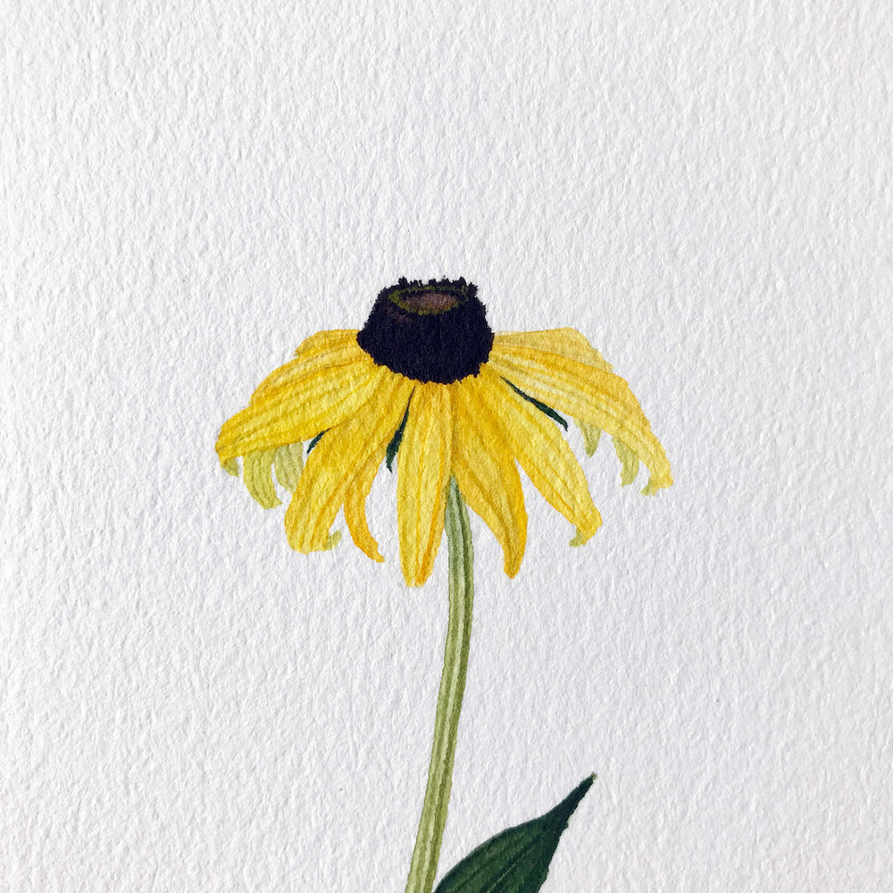 1000x1000 Black Eyed Susan Watercolor My Giant Strawberry