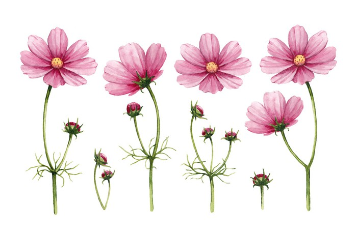 700x460 Cosmos Flowers Collection. Watercolor Illustrations Wall Mural