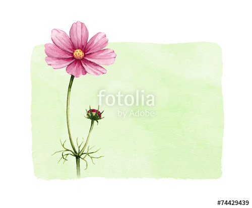 500x413 Background With Watercolor Cosmos Flowers Stock Photo And Royalty