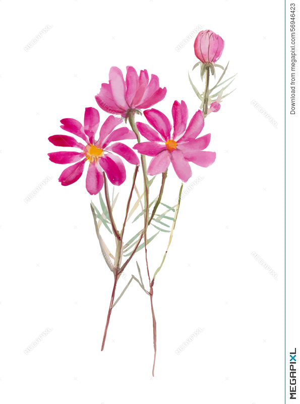 595x800 Cosmos Flower.hand Drawn Watercolor Painting On White Background W