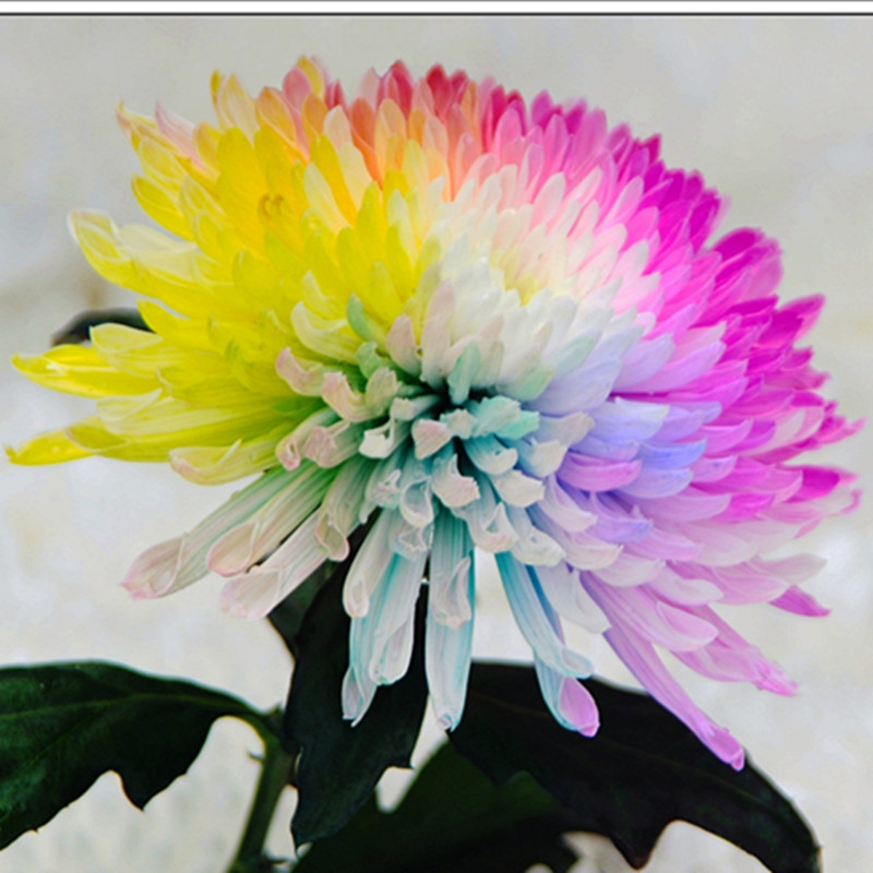 800x800 50 Water Color Daisy Seeds Lovely Rainbow Watercolor Daisies