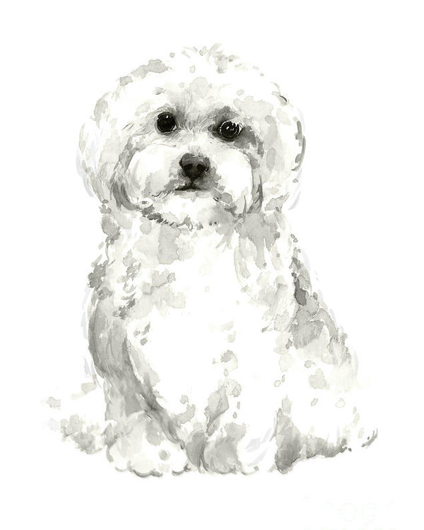 600x750 Maltese, Havanese Custom Dog Illustration, White Dog Art Print