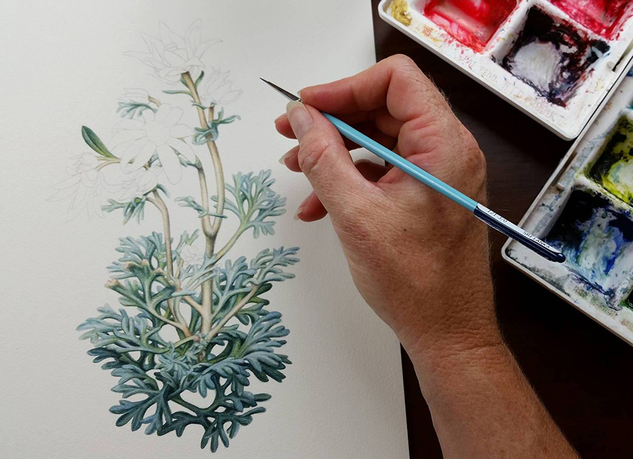 900x653 Australian Flannel Flowers Illustration ~ First On The Drawing