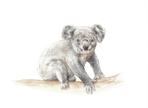 498x366 Koala Watercolor Print 8.5x11 Limited Edition Signed