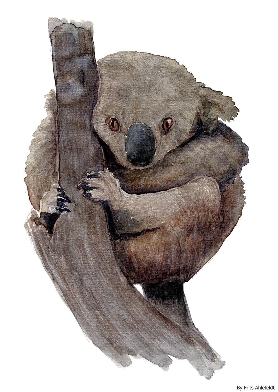 1065x1500 Watercolor Koala Bear The Hiking Artist Project By Frits Ahlefeldt