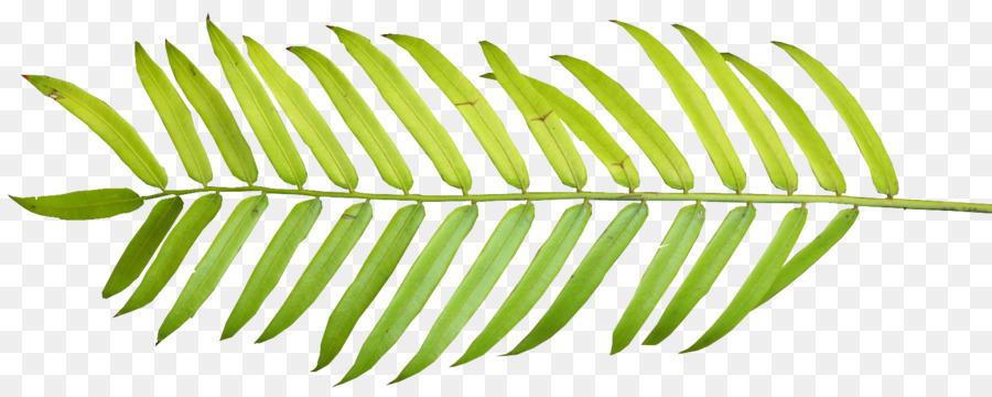 900x360 Palm Branch Palm Leaf Manuscript Arecaceae Clip Art