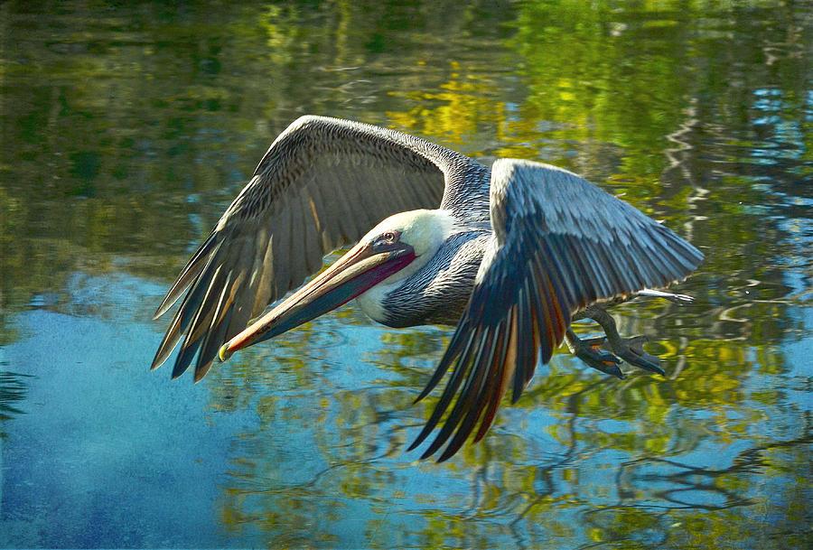 900x609 Pelican Watercolor Photograph By Fraida Gutovich
