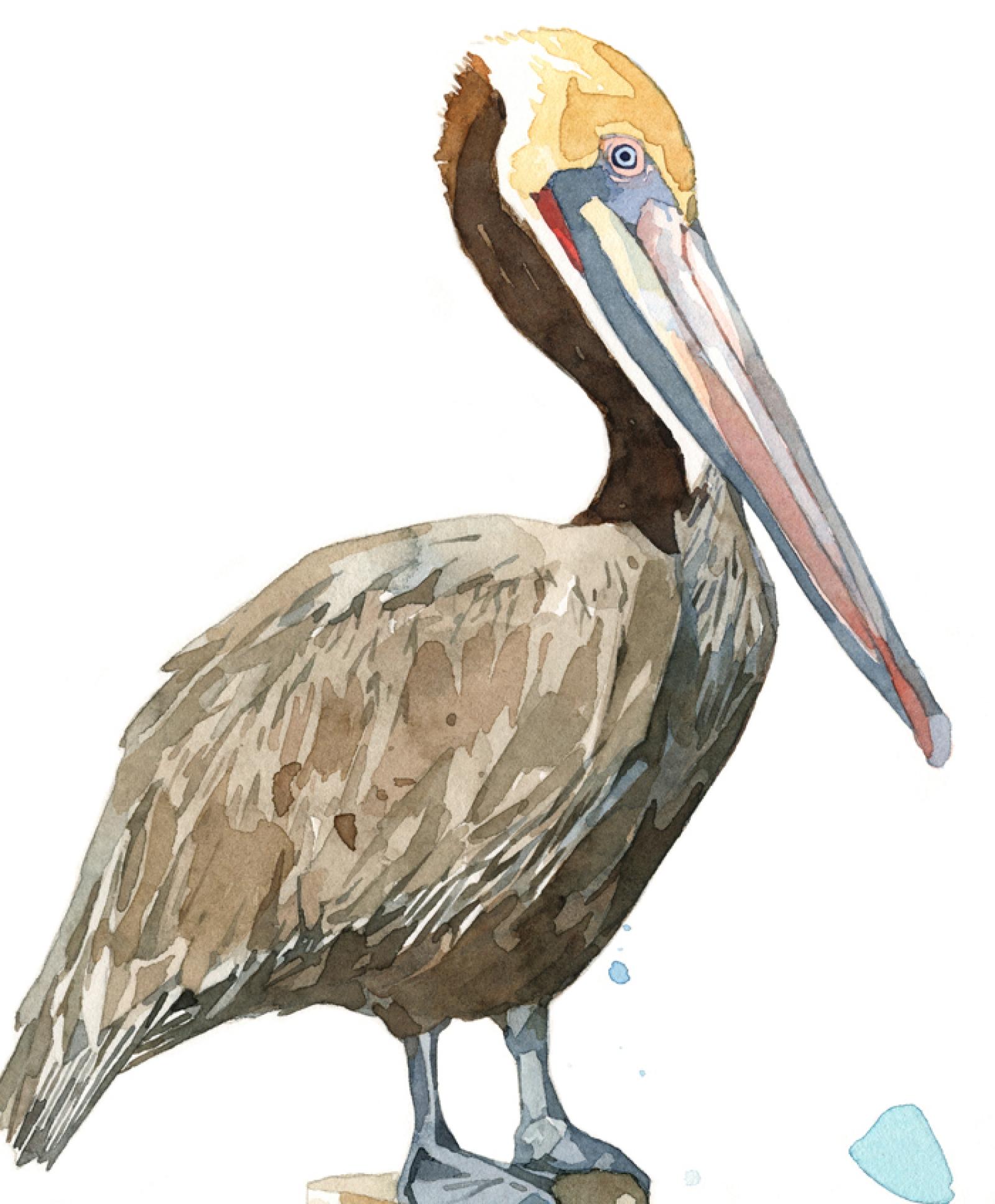 1600x1936 Pelican Art Print, 8x10 Coast Bird And Pier Watercolor David